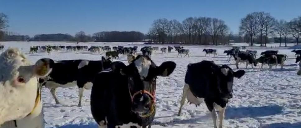 Sneeuw; ook leuk voor de koeien