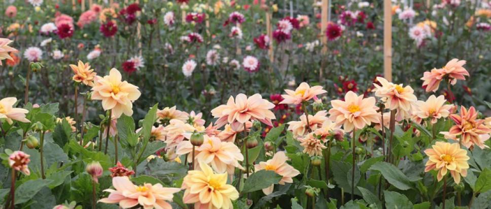 Open dagen Floralia opnieuw in aangepaste vorm