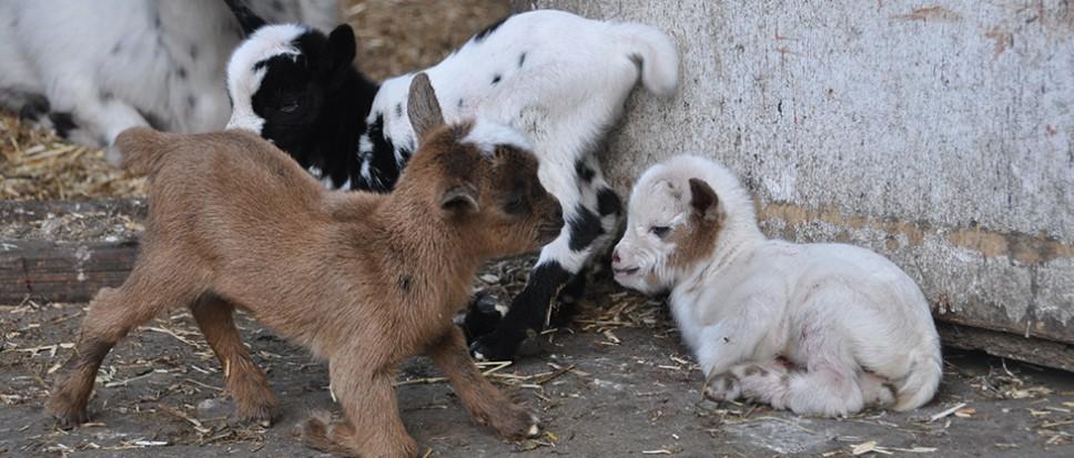 Drieling geboren in dierenparkje