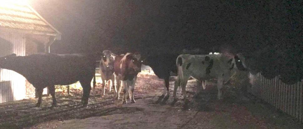 Politie vangt ontsnapte koeien