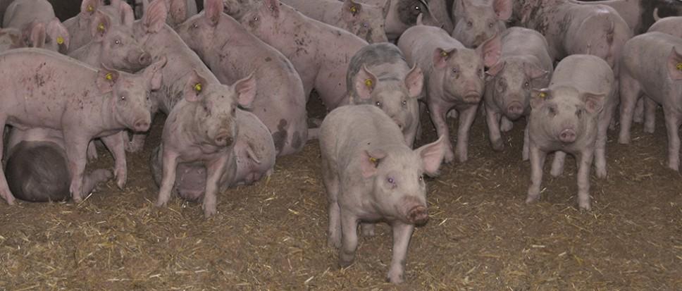 Wijkvereniging Stroom Esch wil geen varkens