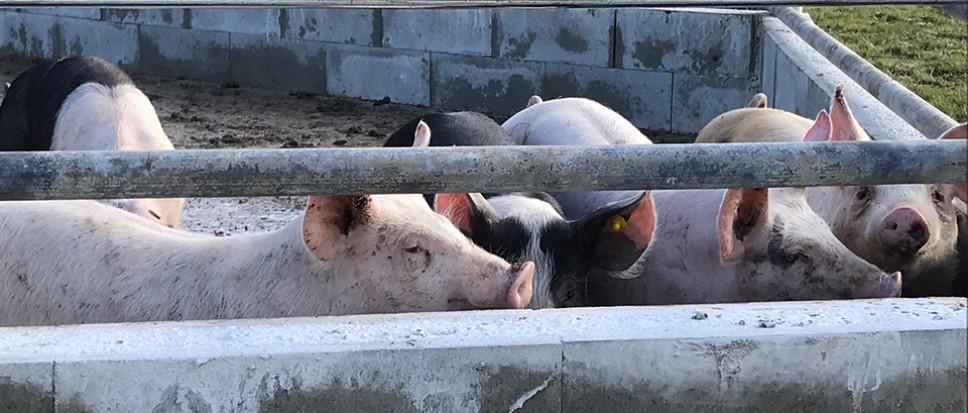 Politieke rel om varkens