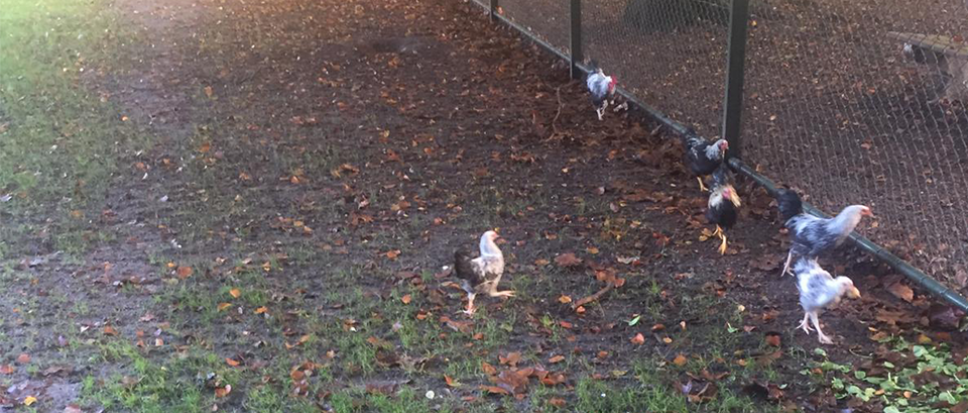 77 kippen gedumpt in hertenkampje