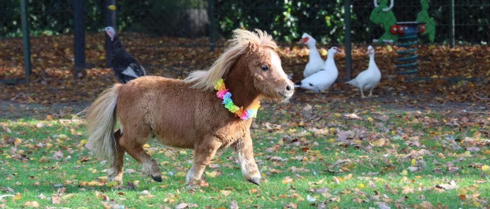 Dit is Polly, het mini dwergpaardje