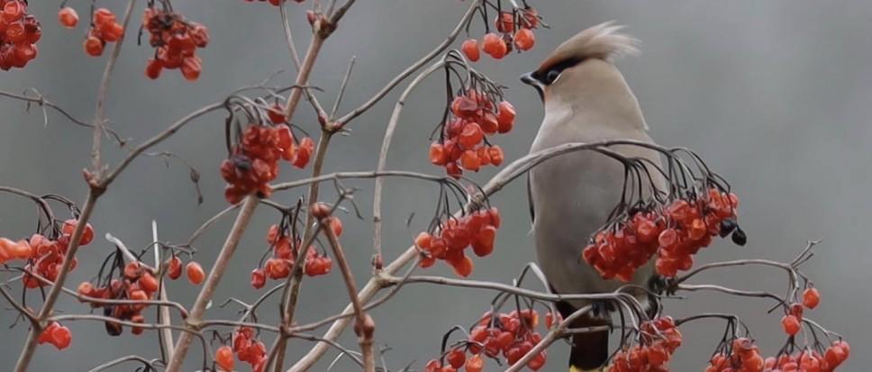 Pestvogel in de Stroom Esch