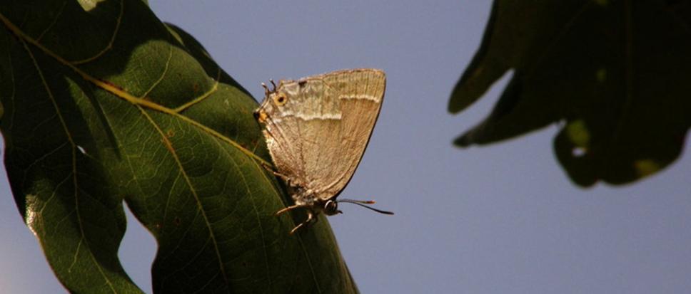'Beschermde' vlinder blokkeert aanvalsplan